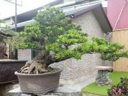 Ý nghĩa phong thủy của cây tùng la hán