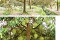 Chính Chủ bán đất vườn Sầu Riêng diện tích 6.517m2 tại Xã Phú Túc, Huyện Châu Thành, Tỉnh Bến Tre