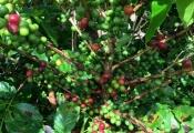 Giá cà phê lao dốc, chỉ các nhà sản xuất Việt Nam và Brazil sống khỏe