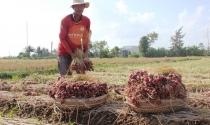 Sóc Trăng: Hành tím chất đống, nông dân điêu đứng