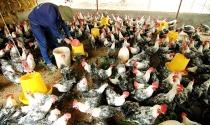 Trước sức ép gà Mỹ: Sẽ kiện chống bán phá giá?