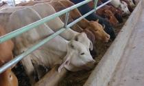 Hoàng Anh Gia Lai mua bò ngoại cho nông dân vỗ béo