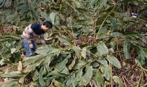 """Nông dân Lai Châu """"ôm nợ"""" vì thảo quả chết"""