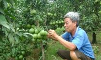 Trở thành tỷ phú nhờ trồng cam Cao Phong