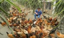 Lên núi lập trang trại gà Lạc Thủy