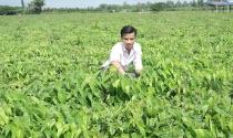 Thuê đất trồng khoai mỡ làm giàu