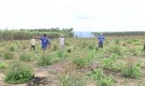 Sau 10 năm cho thuê, 70 hộ dân ở Gia Lai mất trắng gần 200ha đất