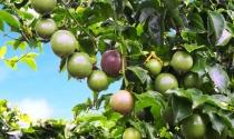 HAG: Trồng cây ăn quả, lấy ngắn nuôi dài để vượt qua khó khăn