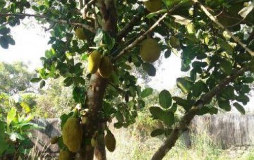 Bán 1 sào đất Long Phước, Long Thành có thổ cư nhà cấp 4, vườn cây ăn trái.